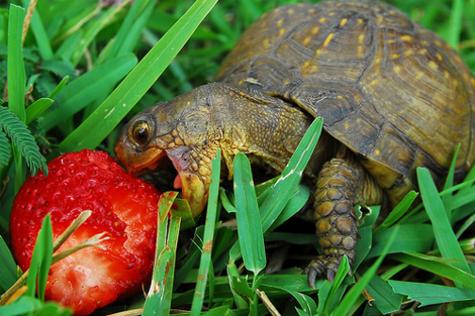 tortoise_biting_strawberry